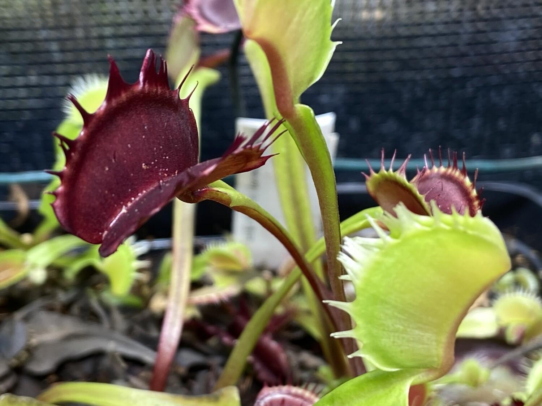 Dionaea muscipula Fuzzy Tooth Venus Flytrap (small)