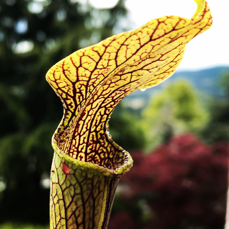 Sarracenia rubra ssp jonesii