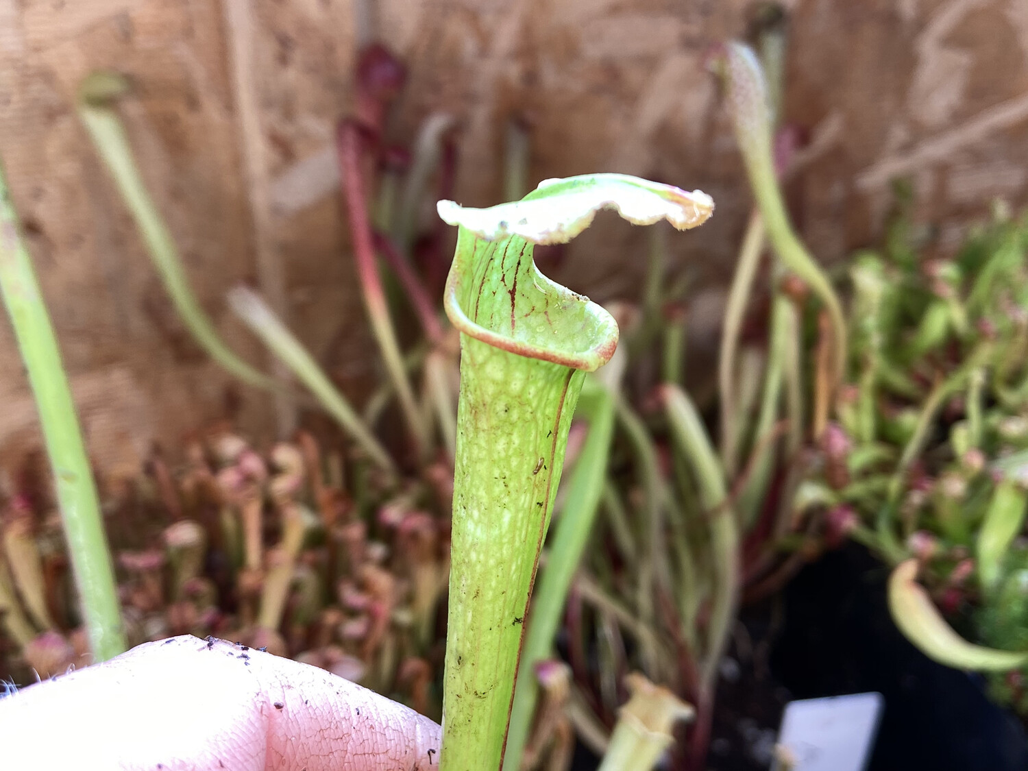Sarracenia (Moorei Red X Black Widow) X Bloodmoon