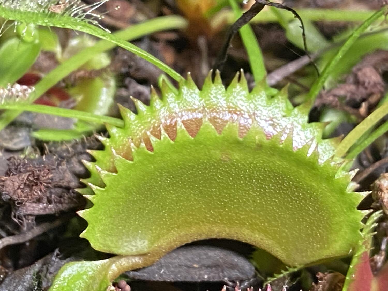 Dionaea muscipula Dentate Traps Venus Flytrap (small)