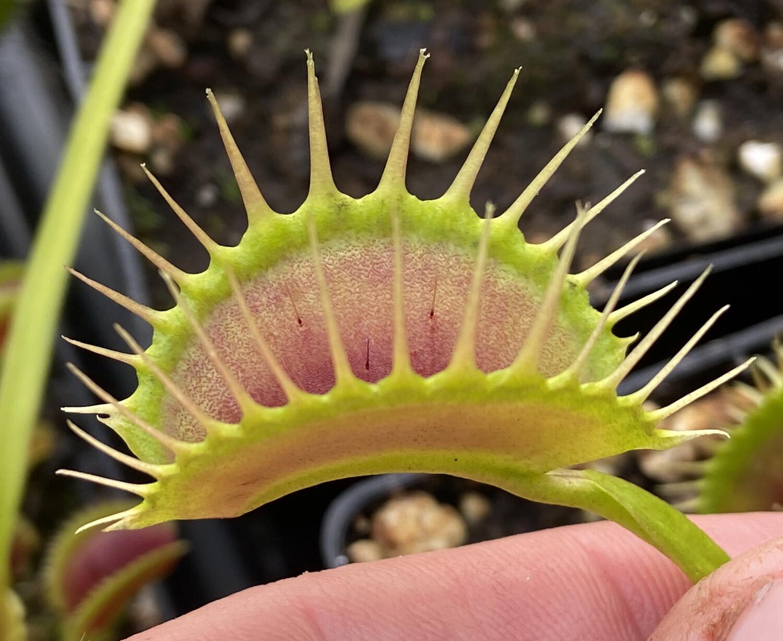 Dionaea muscipula DC/XL Venus Flytrap (small)