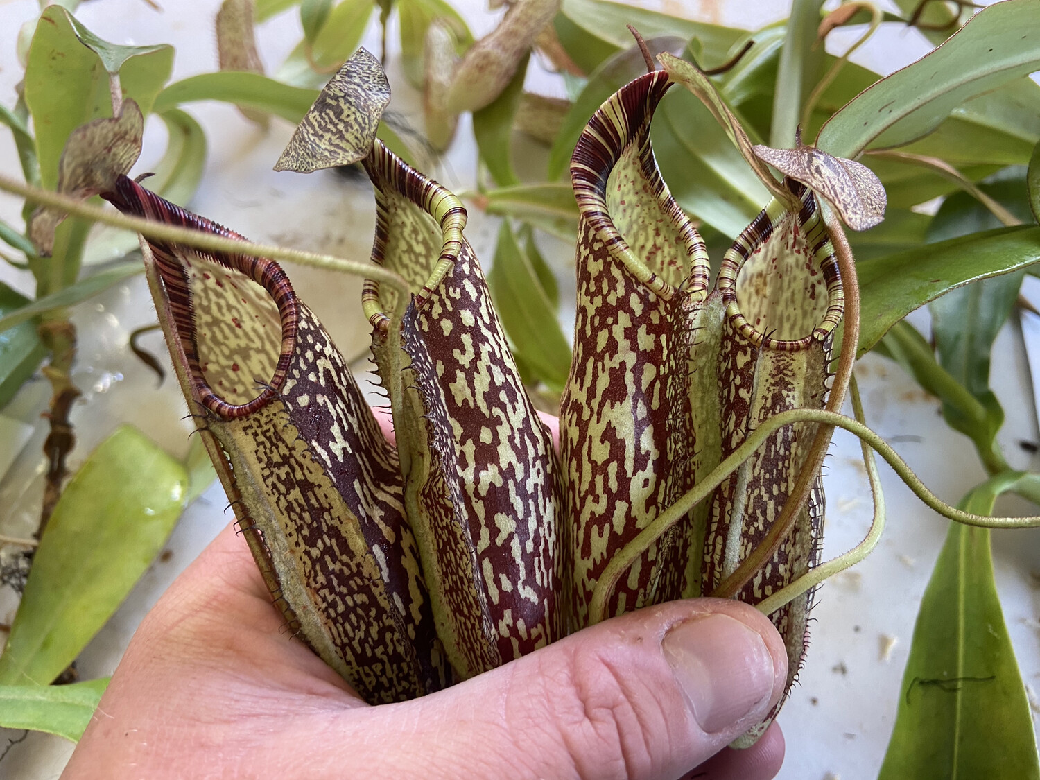 Nepenthes spectabilis BE-3768 - Huge Plants!