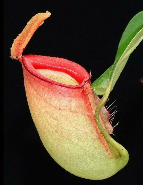 Nepenthes ampullaria x campanulata BE-3840