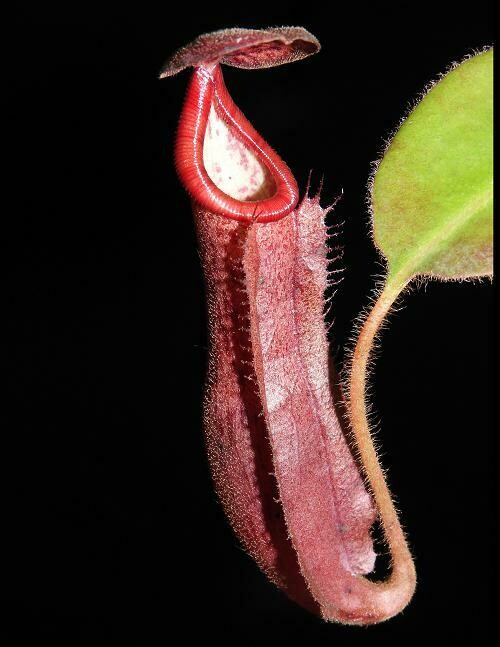 Nepenthes glandulifera x (burbidgeae x edwardsiana) BE-3990
