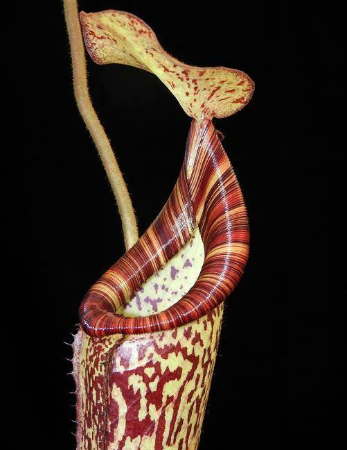 Nepenthes petiolata x vogelii