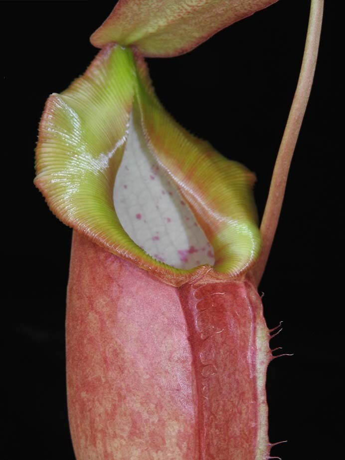 Nepenthes spathulata x dubia