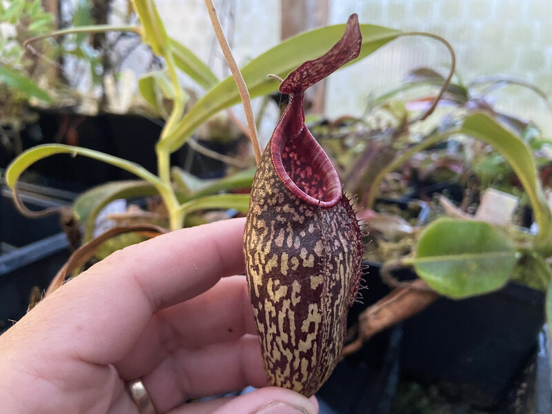 Nepenthes (aristolochioides x spectabilis) x aristolochioides BE-3922
