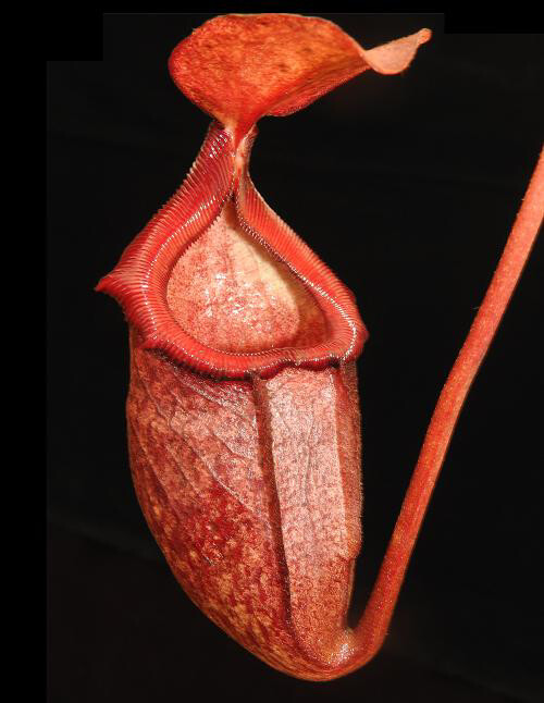Nepenthes rajah x (burbidgeae x edwardsiana) BE-3902