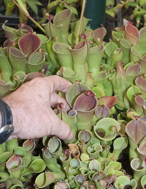 Heliamphora minor BE-3250 (Adult Pitchers)