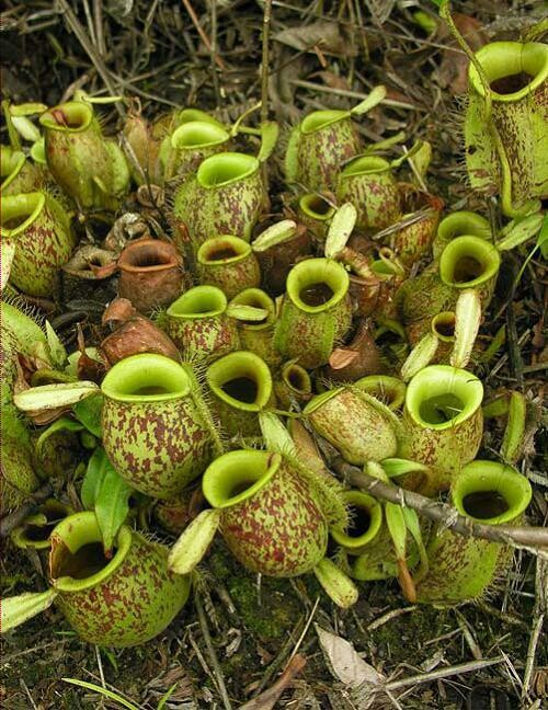 Nepenthes ampullaria 'Brunei Red Speckled'