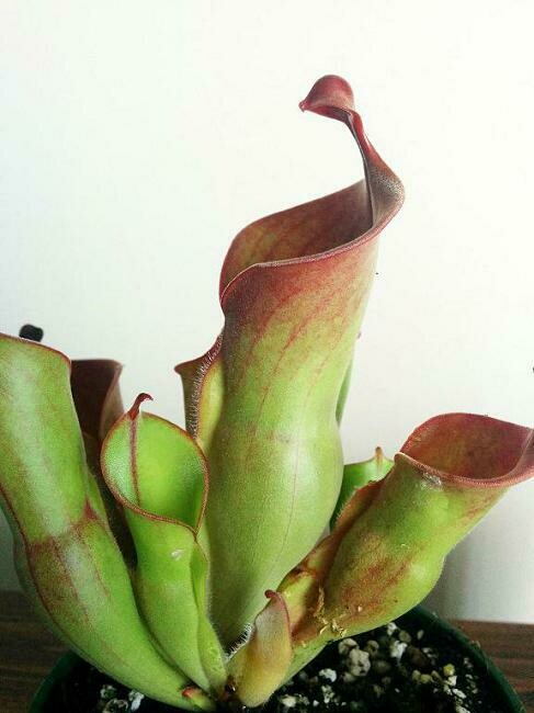 Heliamphora heterodoxa x minor BE-3246