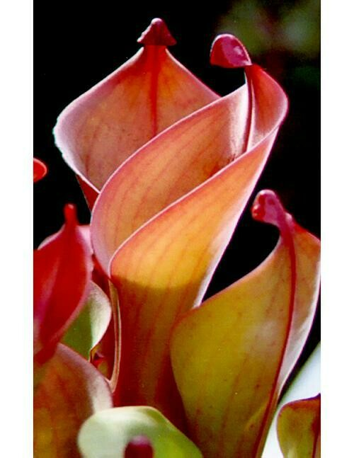 Heliamphora nutans BE-3249