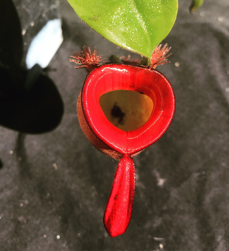 Nepenthes ampullaria  'harlequin' Returning after 4 years!