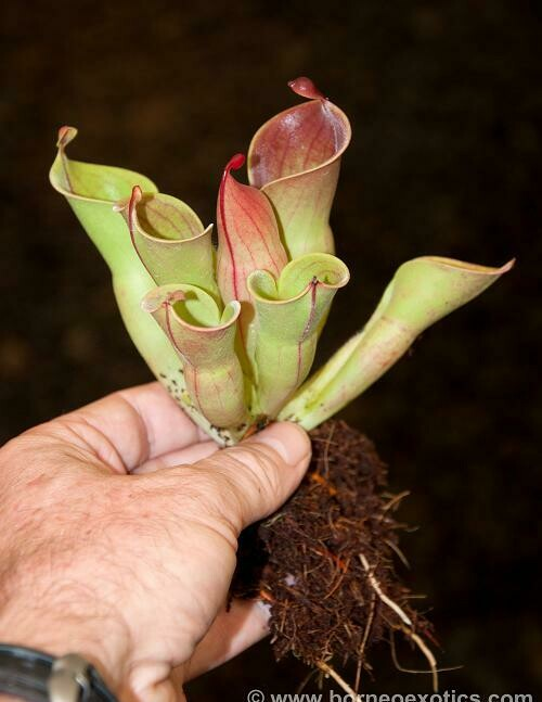 Heliamphora minor BE-3250