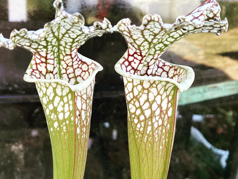 """Sarracenia leucophylla """"Titan"""" X """"Titan"""" Assorted Seed Grown"""