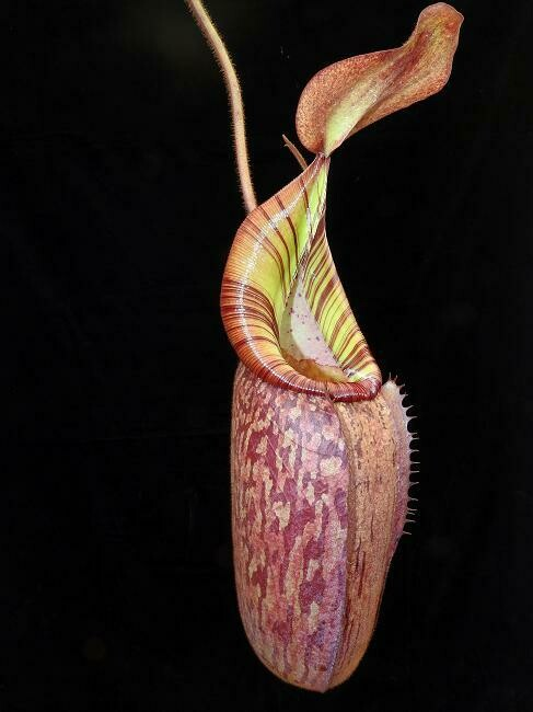 Nepenthes spectabilis x veitchii BE-3636 (Large)