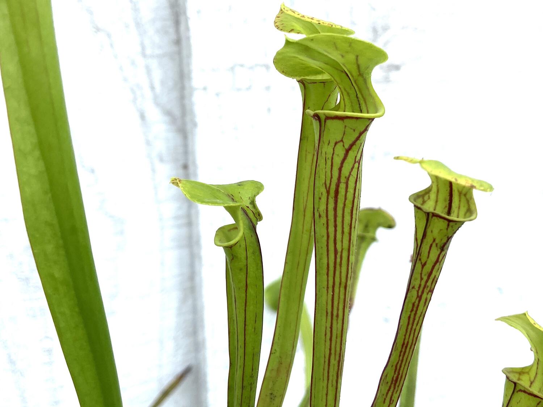 "Sarracenia flava var. ornata ""Giant Form"" MKF37 X Self"