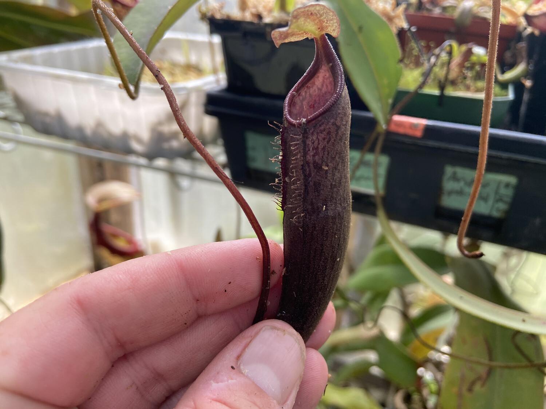 Nepenthes ramispina x lingulata Specimen sized!