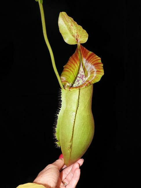 Nepenthes spathulata x veitchii (Medium)