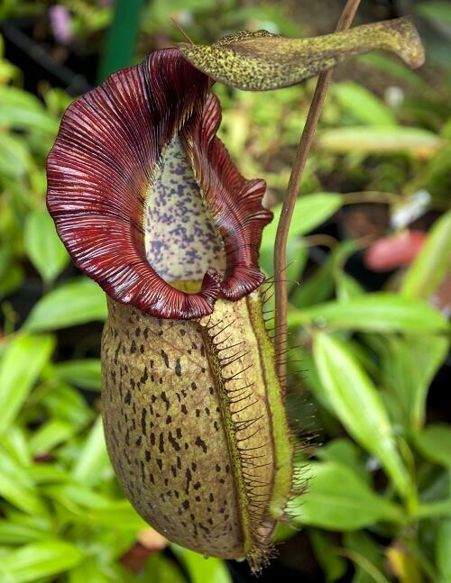 Nepenthes spathulata x spectabilis BE-3314 (Medium) Easy, Must Have!