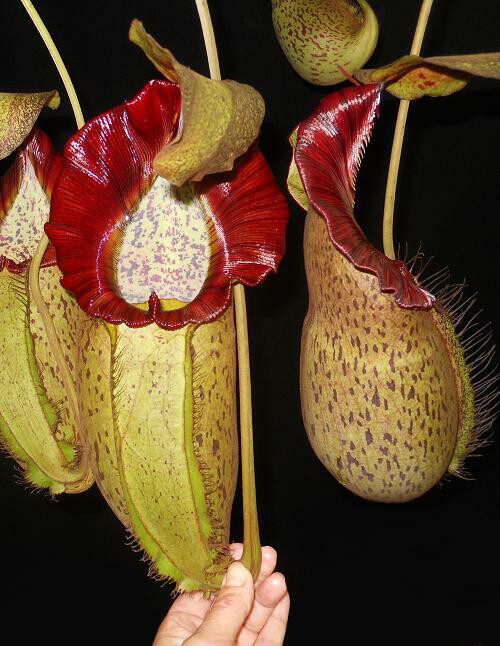 Nepenthes spathulata x spectabilis BE-3314 - (X-Large)