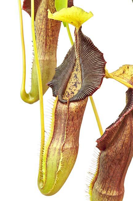 Nepenthes singalana BE-3170 (Specimen Sized)