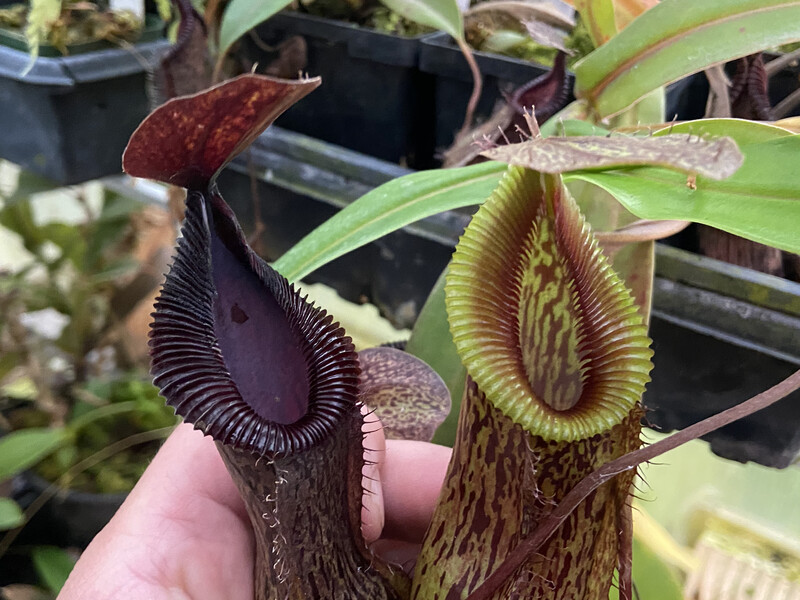 Nepenthes burkei x hamata BE- 3683 (Medium) Black Peristome!