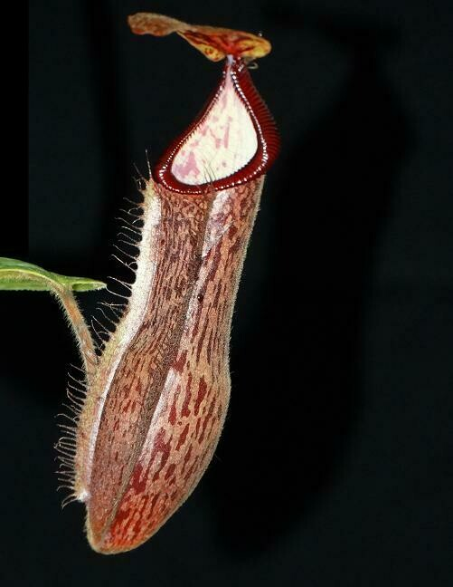 Nepenthes glandulifera x hamata BE-3953