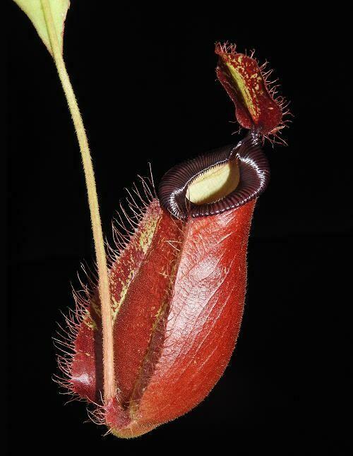 Nepenthes ampullaria x hamata Tambusisi Form (Large)