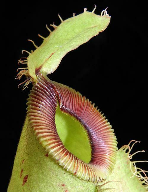 Nepenthes ampullaria x hamata Lumut form Nice Size!