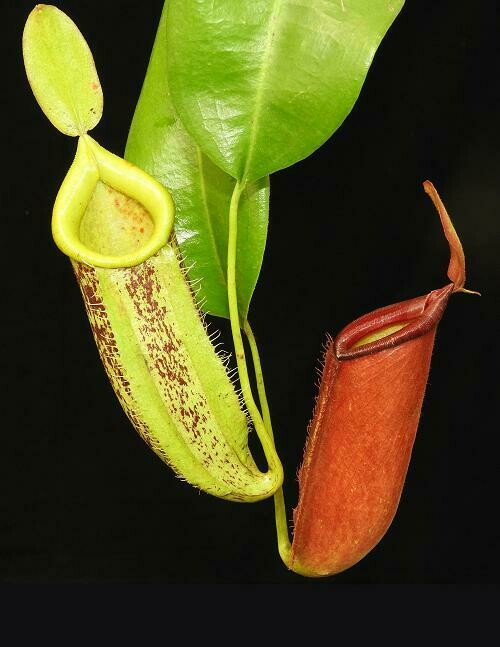 Nepenthes  ampullaria x veitchii BE-3720 - Big and Shade Lovers!