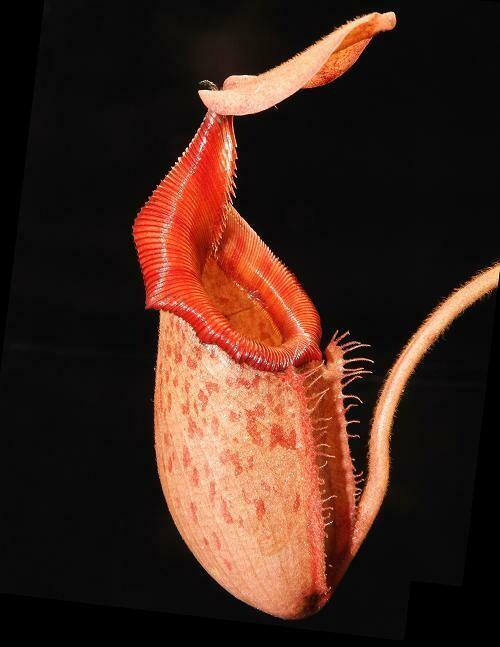 Nepenthes rajah x veitchii BE-3730