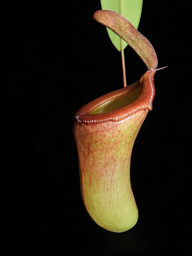 Nepenthes ventricosa x dubia (Large)