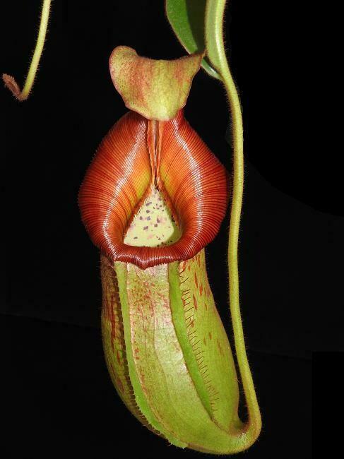 Nepenthes petolata x veitchii Nice BIG plants!
