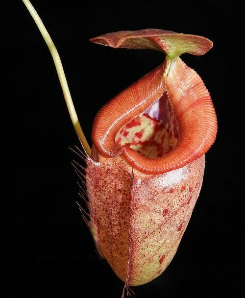 Nepenthes robcantleyi x tenuis (Medium Size)