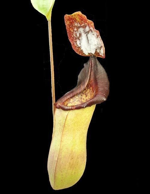 Nepenthes veitchii x lowii BE-4006