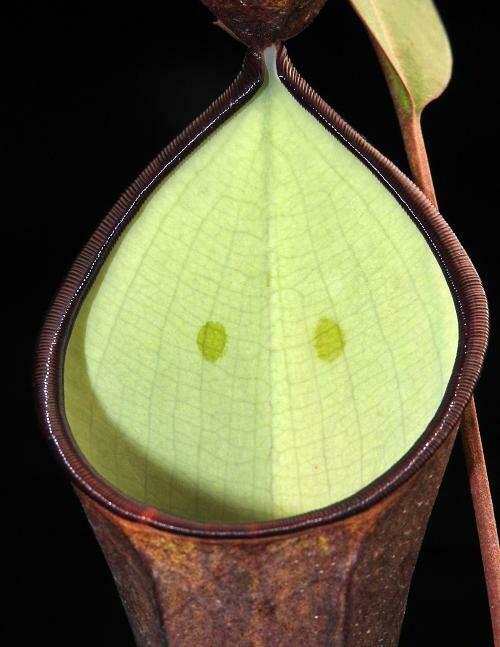 Nepenthes ramispina x reinwardtiana - Big and Awesome!
