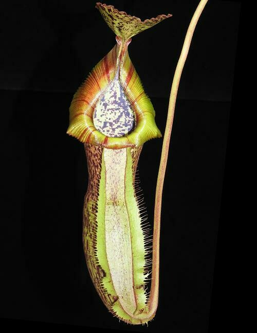 Nepenthes spathulata x (burbidgeae x edwardsiana) BE-3978