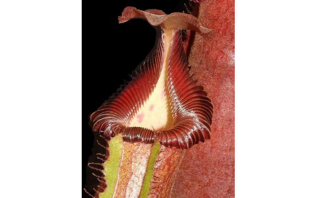Nepenthes Trusmadiensis x robcantleyi BE-4022 LIMITED!