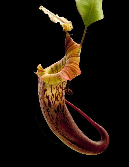 Nepenthes veitchii x platychila