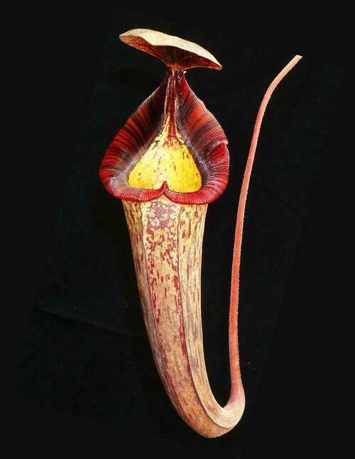 Nepenthes (veitchii X lowii) x spectabilis BE-3400