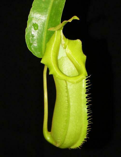 Nepenthes burkei x veitchii BE- 3934