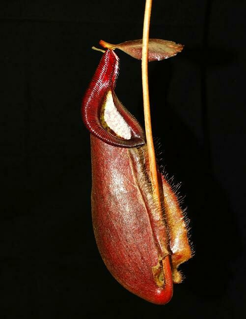 Nepenthes densiflora x rafflesiana (Medium) Grows Warm or Cold!