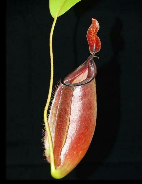 Nepenthes ampullaria x fusca BE-3941- The Best Clone!