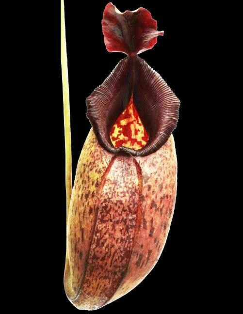 Nepenthes aristolochiodes x robcantleyi BE-3695
