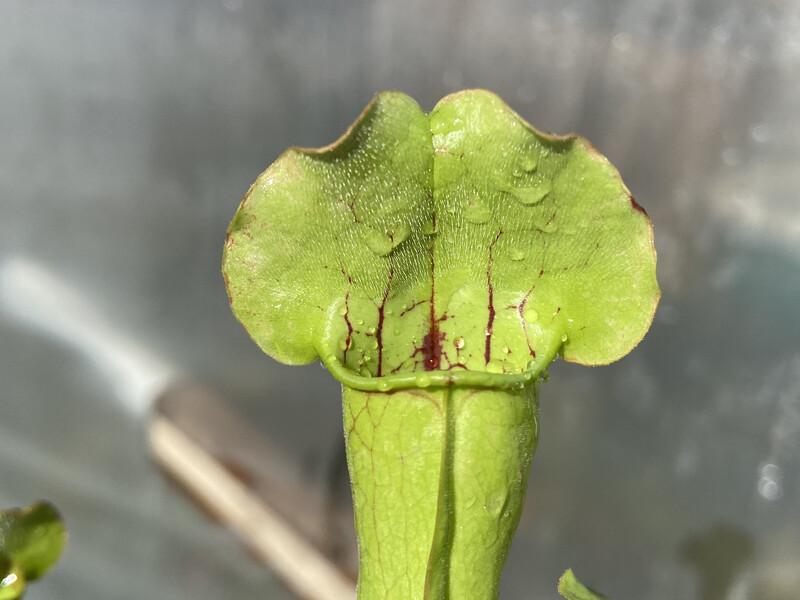 Sarracenia purpurea x Oreophila Sand Mountain