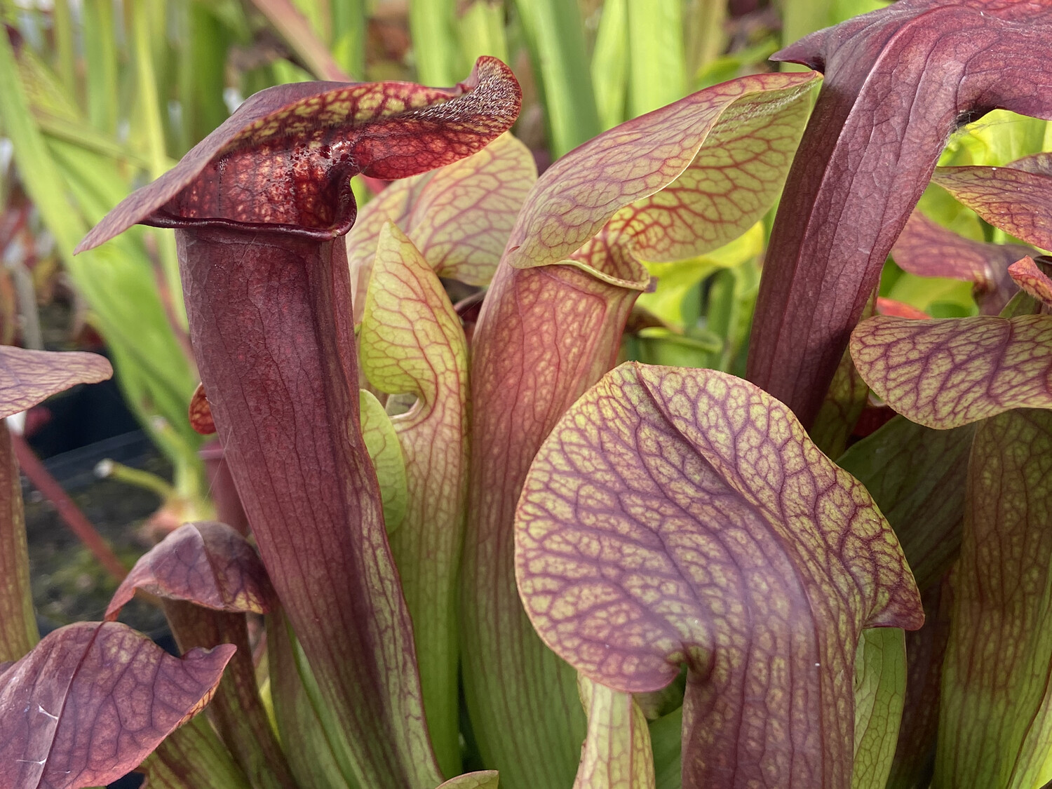 """Sarracenia rubra """"Long lid"""" x  oreophila """"All Red"""" (Blooming size divisions)"""