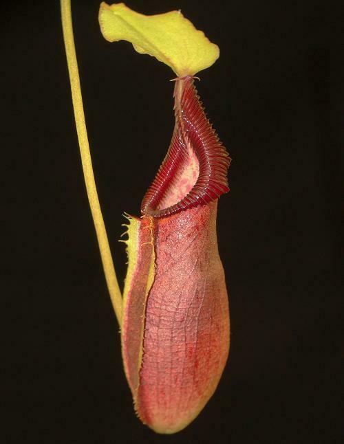 Nepenthes singalana x ovata BE-3882 (Medium) Wicked plants!