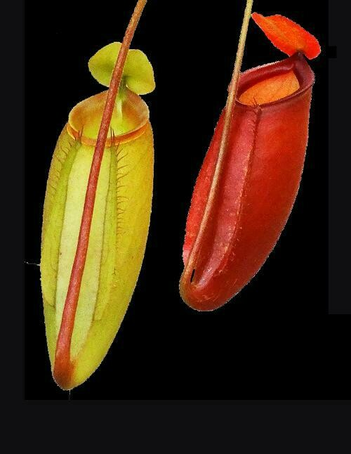 Nepenthes ampullaria x mira BE-3783 Pink Pitchers! (Large)