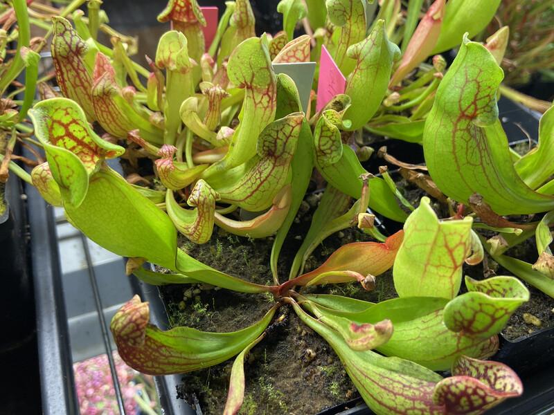 """Sarracenia purpurea Ocean City """"Giant"""" NJ"""